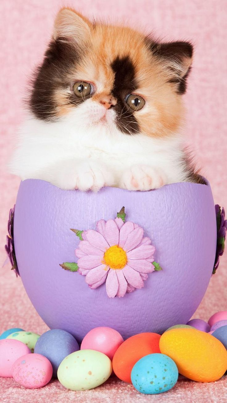Persian calico kitten wallpapers in jpg format for free download