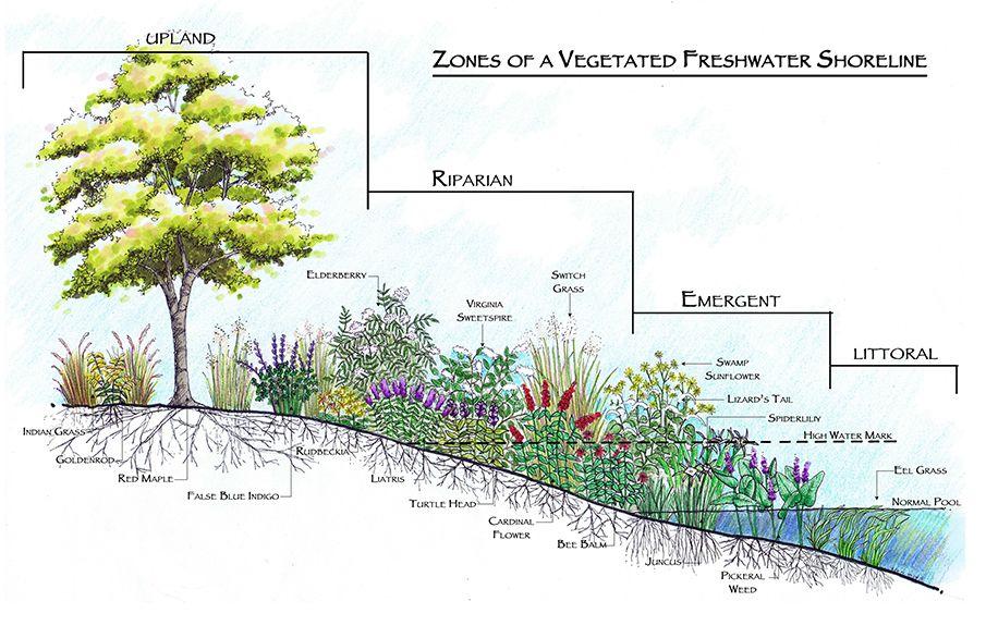 zones of a freshwater vegetated shoreline   lake   Pond design