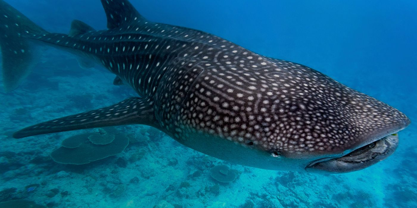 Whale sharks are not only the largest shark – they\'re the largest ...