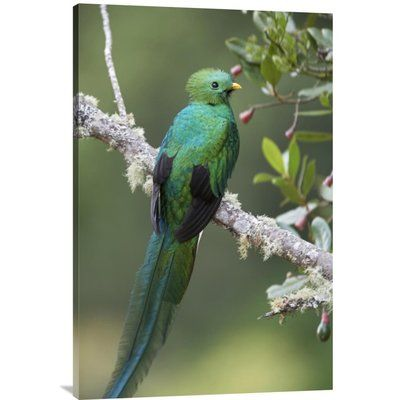 """East Urban Home 'Resplendent Quetzal Male' Photographic Print on Canvas Size: 36"""" H x 24"""" W x 1.5"""" D"""