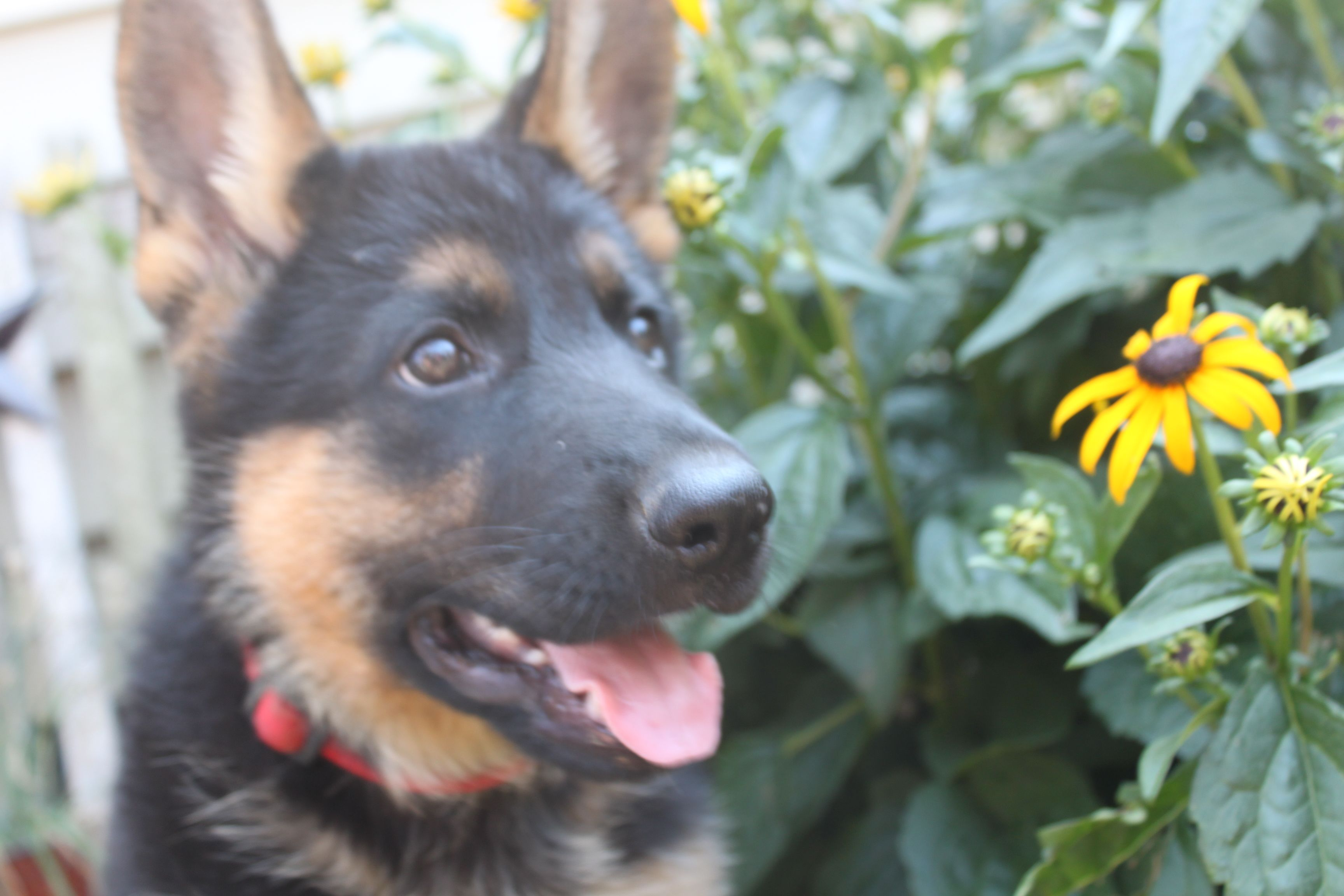 Here Is Another Female German Shepherd Puppy For Sale At Httpwww
