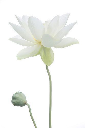 Lotus Flower Surreal Series - DD0A9662-1000