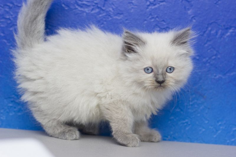Kassidy Blue Point Female Ragamuffin Kitten Ragamuffin