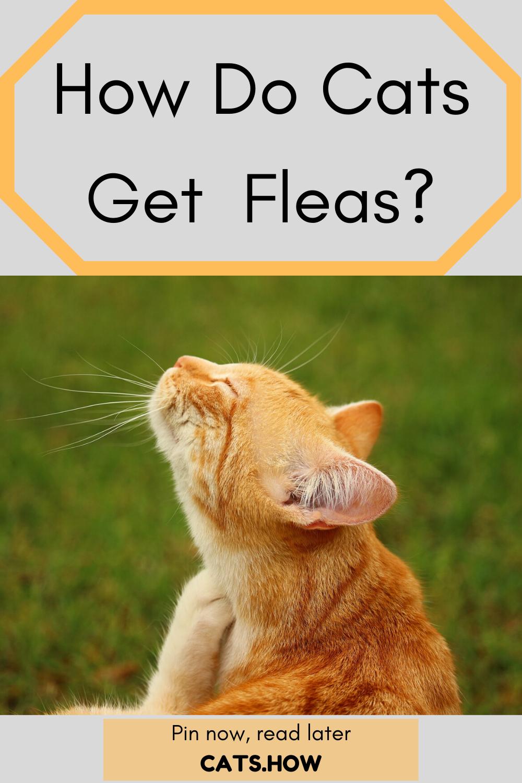 How Do Cats Get Fleas In 2020 Cat Fleas Fleas Pet Allergies