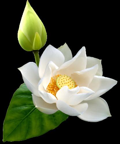 White Lotus Png Clip Art Best Web Clipart Flowers Digital Flowers Flower Wallpaper