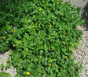 Yellow Dot Wedelia Trilobata Plantyellow Dot Is A Fast Growing Trailing Evergreen Ground Cover With Little Yellow Flow Desert Plants Ground Cover Plants Plants
