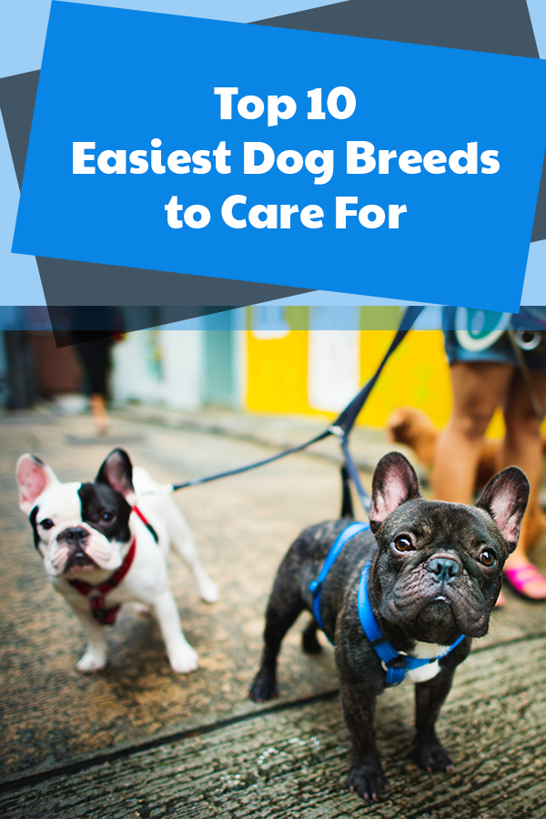 Easiest Dog Breeds To Care For Dog Breeds Best Guard Dogs Veterinary Care