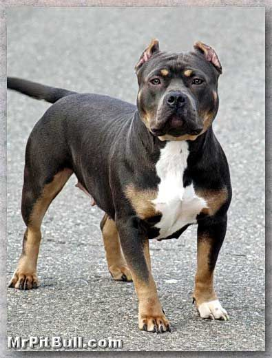 American Bully Gottiline Why Gotti Pitbulls Are Very Popular