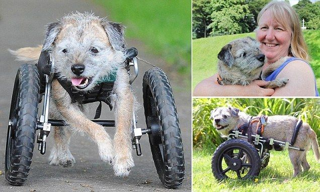 Border Terrier Who Hops On Three Legs After Her Leg Was Shattered