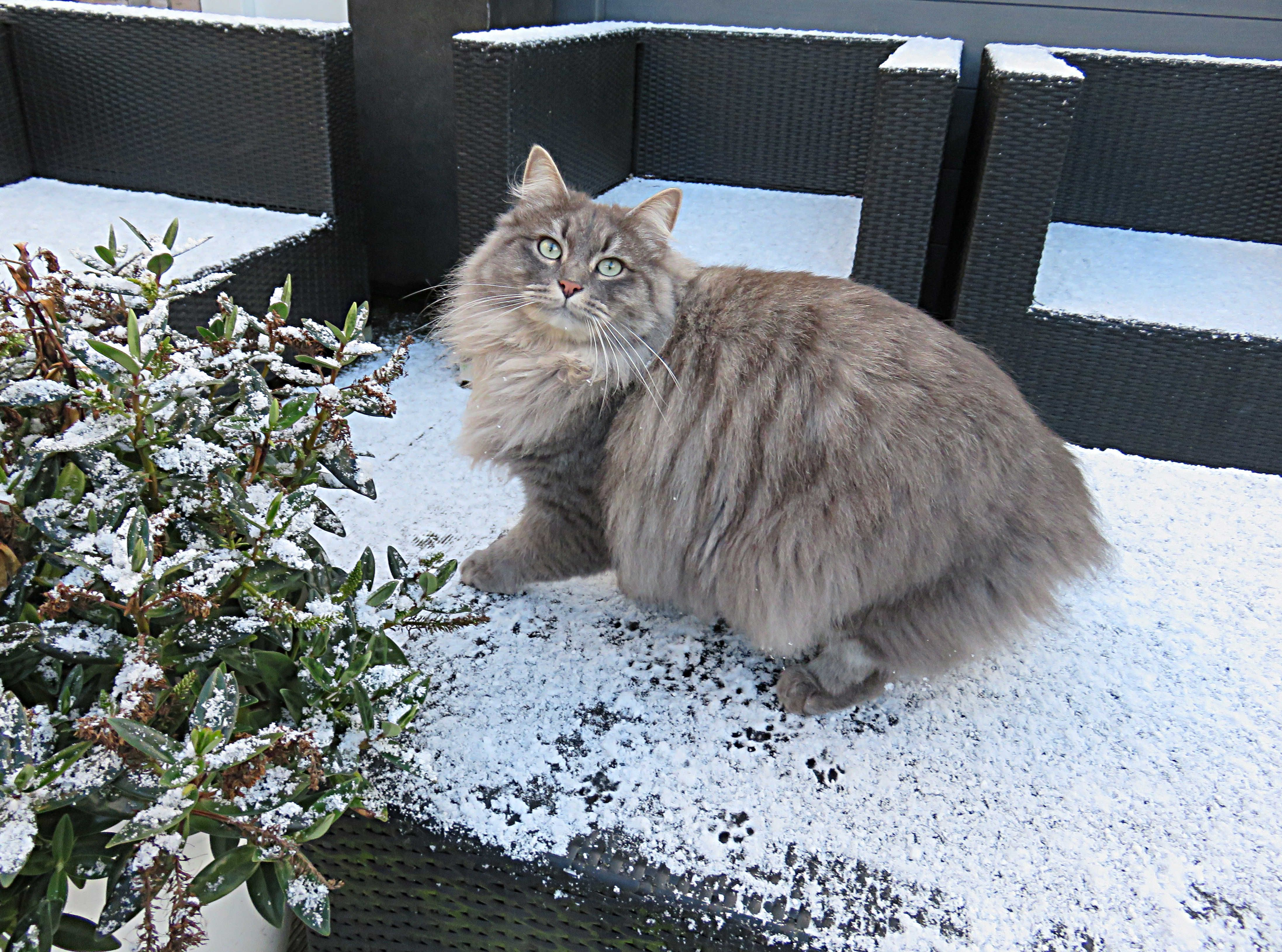 Siberian Blue Tabby Mackerel cat playing in the snow for