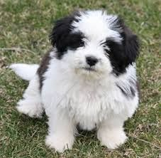 Shih Tzu Pictures Google Search Dog Breeds Cute Dogs Breeds