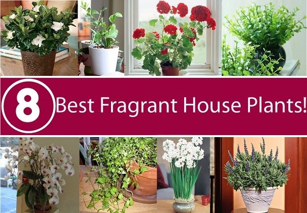 List Of Best 8 Fragrant House Plants