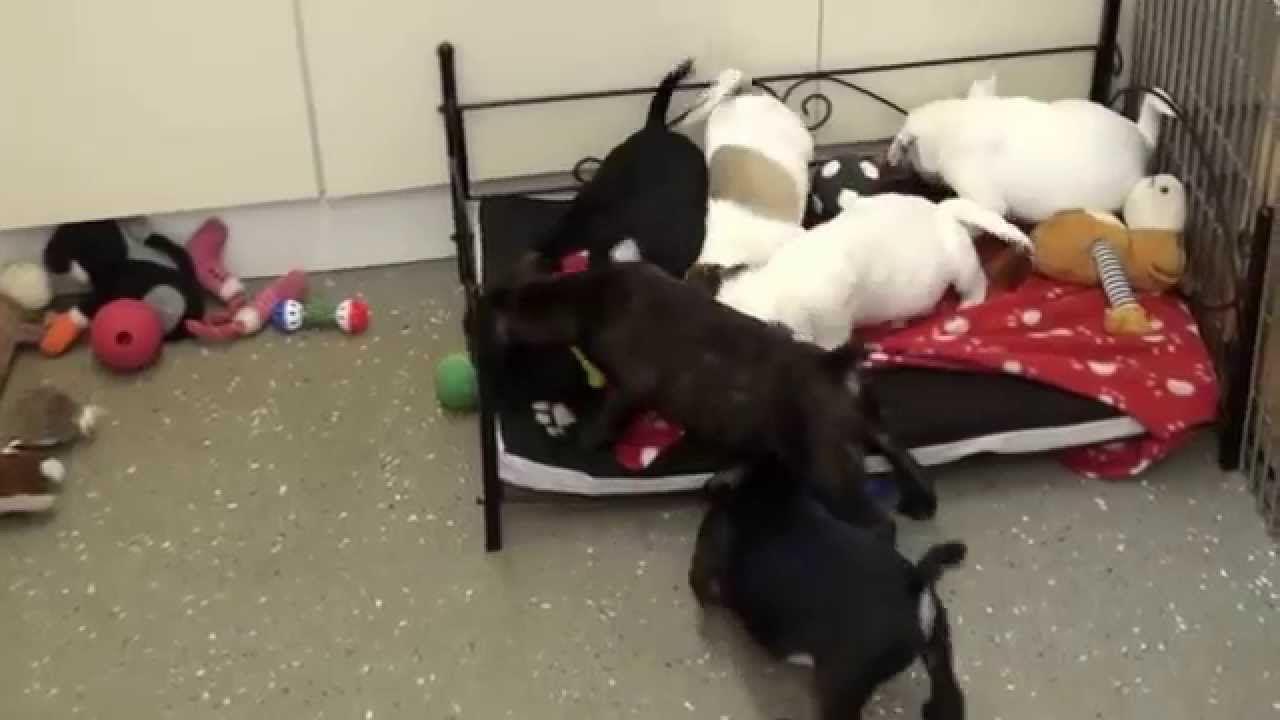 Little Rascals Uk Breeders New Litter Of French Bulldog X Pug