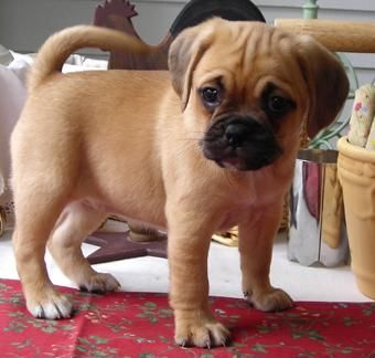 Puggle Pup Cross Between A Pug And Buggle Puggle Puppies