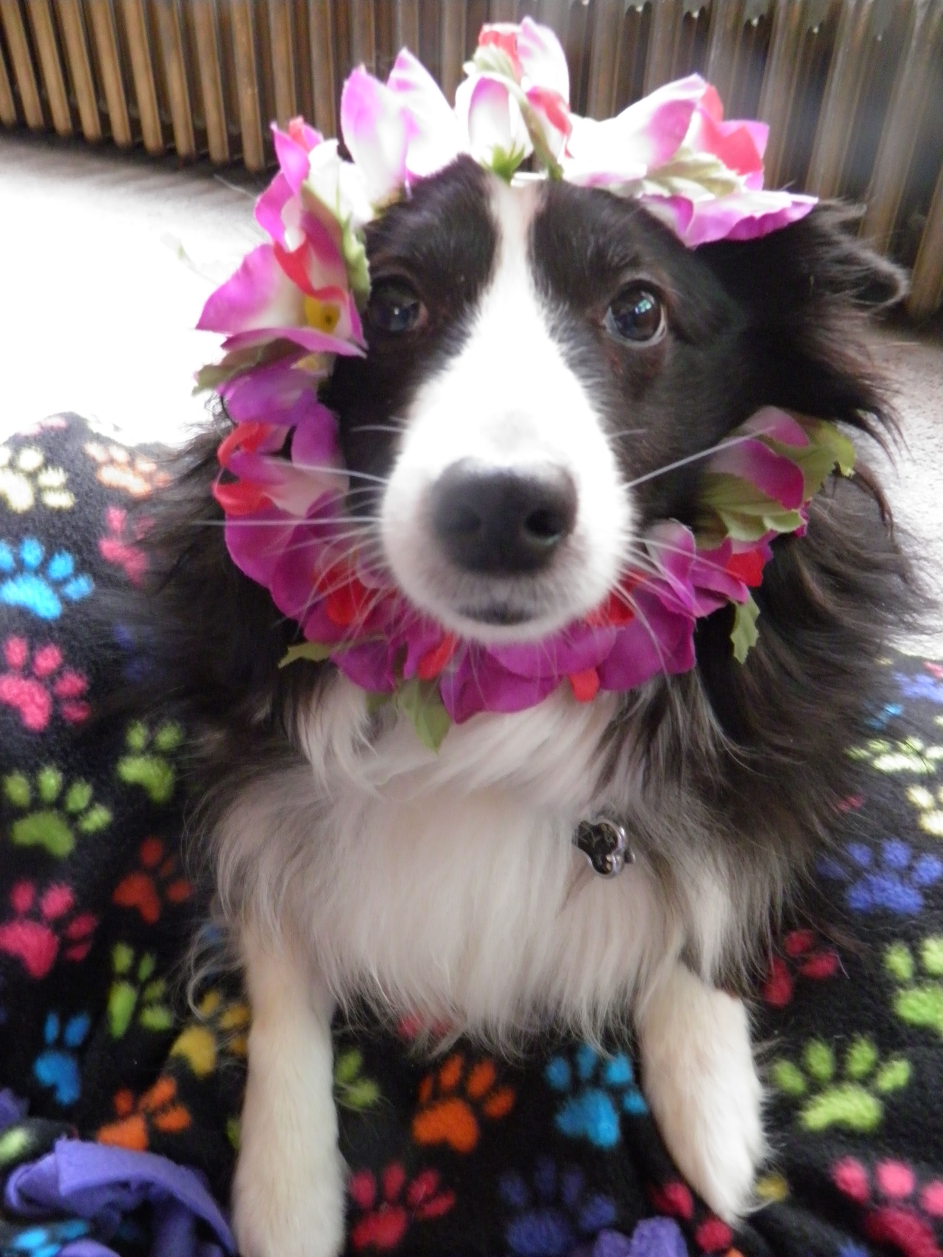Aloha Mother S Day 3 Dog Love Border Collie Dogs