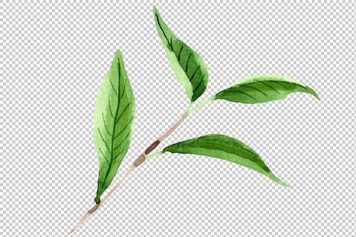Tea Leaf Png Watercolor Set Tea Leaves Floral Botanical Plant Leaves