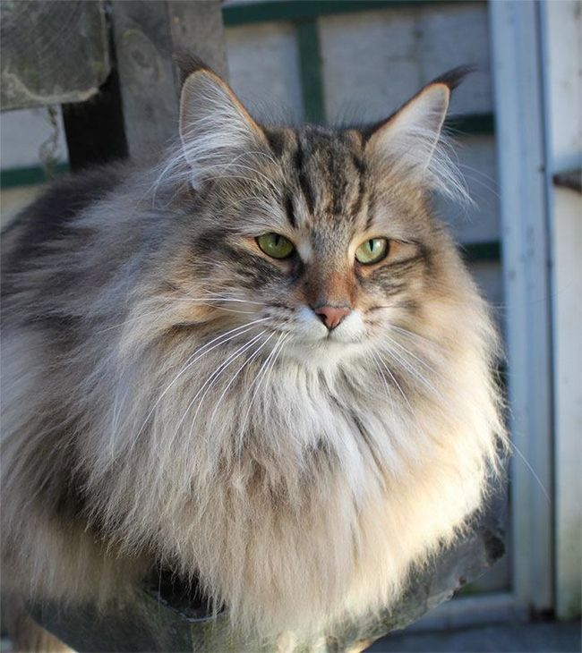 Norwegian Forest Cat Is Listed Or Ranked 1 On The List The Best Long Haired Cat Breeds Norwegian Forest Cat Long Hair Cat Breeds Forest Cat