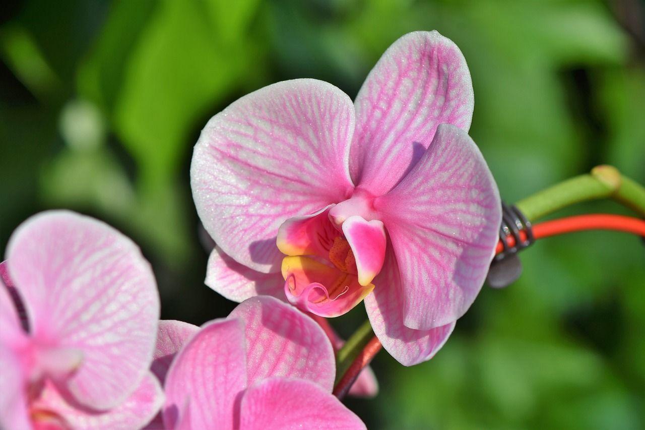 Cultiver Des Orchidees N Est Pas Toujours Facile Les Orchidees Achetees En Magasin Prosperent Tant Qu On Leur Fleur Orchidee Orchidee Soin Pour Les Orchidees