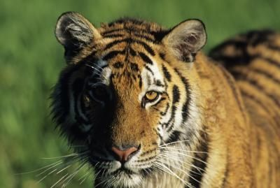 What Is The Most Common Type Of Tiger Bengal Tiger Facts Tiger Facts For Kids Bengal Tiger