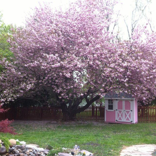 Placed Pink Storage Shed Under Pink Ornamental Cherry Tree