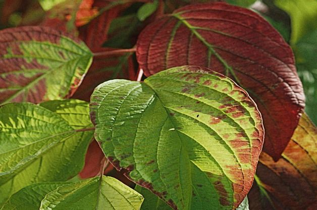 Garden Glow dogwood; Zone 4; 3-4' high, prefers partial sun. Neon bright foliage: Red winter stems provide 4 season appeal.