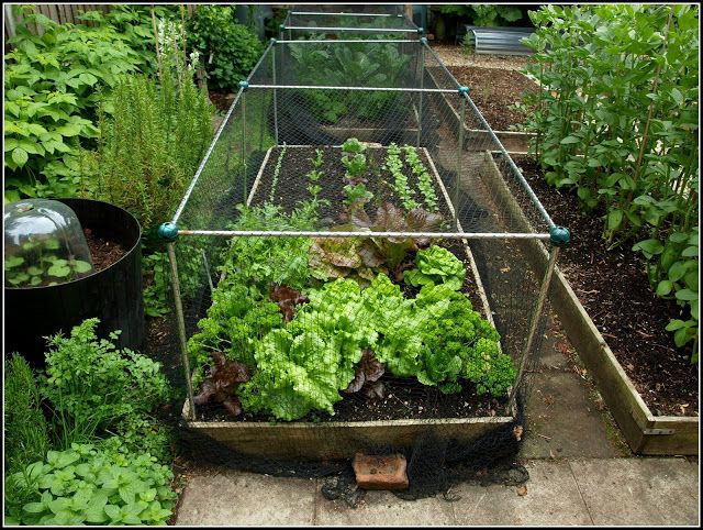 Protecting Garden From Animals Part - 23: Marku0027s Veg Plot: Mixed Lettuce Varieties; Protection From  Cats/foxes/badgers · Animal ProtectionGardening ...