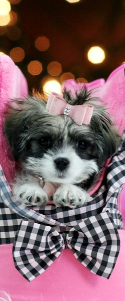 Yorkie Shih Tzu Mix Yorkie Shih Tzu Mix Designer Dogs Breeds
