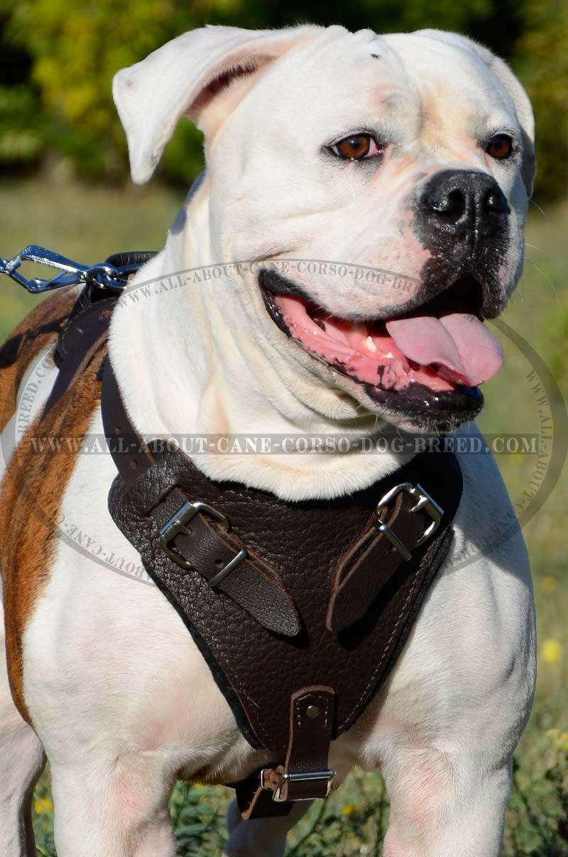 Attack Training Bulldog Breed Harness With Thick Soft Chest