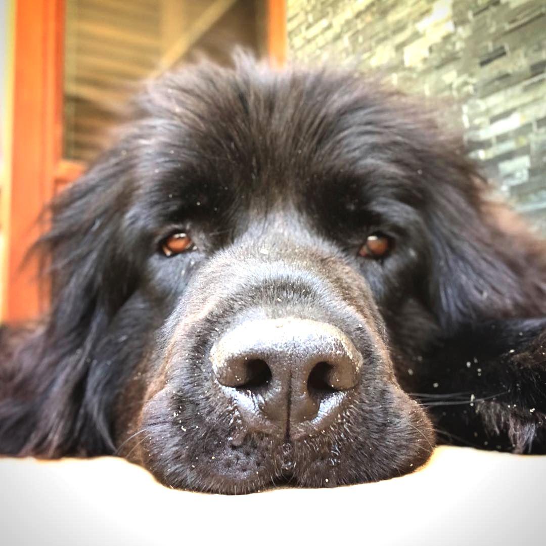 Resultado de imagen para newfoundland dog humps