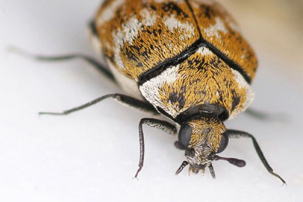 How To Get Rid Of Carpet Beetles With Borax