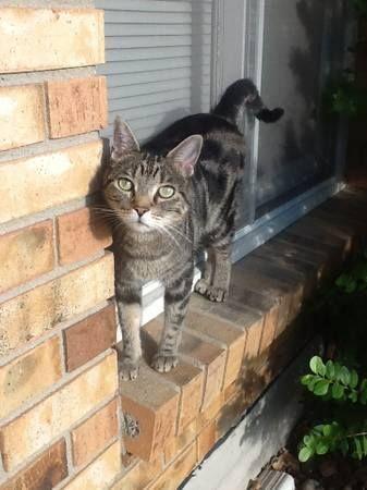 #COFlood #COPets FOUND CAT: Black & Gray medium sized ...