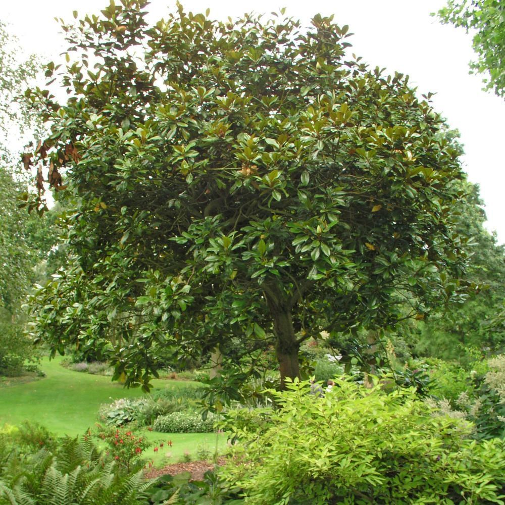 Immergrune Magnolie Immergrunestraucher Wie Viele Andere Magnolien Wachst Auch Die Immergrune Art Sehr Malerisch Outdoor Landscaping Evergreen Trees Evergreen