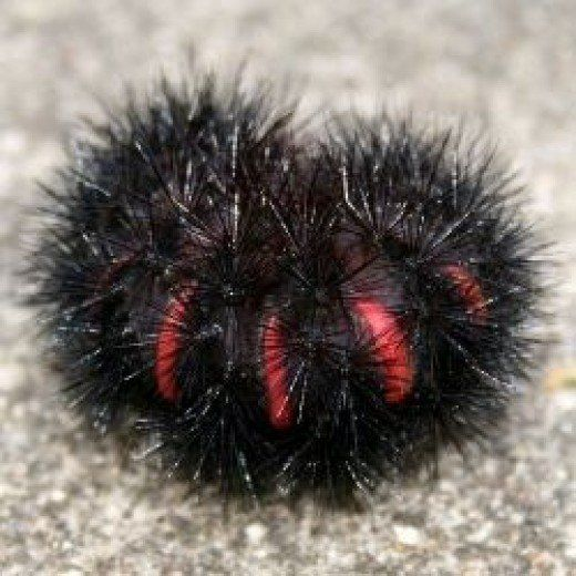 17 Furry Caterpillar Types An Identification Guide Caterpillers