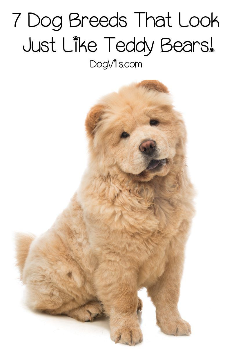 7 Dog Breeds That Look Like Teddy Bears - DogVills in 2020 | Dog breeds,  Unique dog breeds, Dog facts