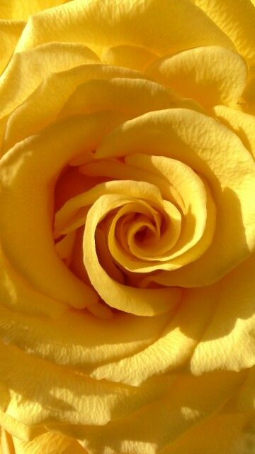 Perfect Yellow Rose Yellow Aesthetic Yellow Roses Yellow