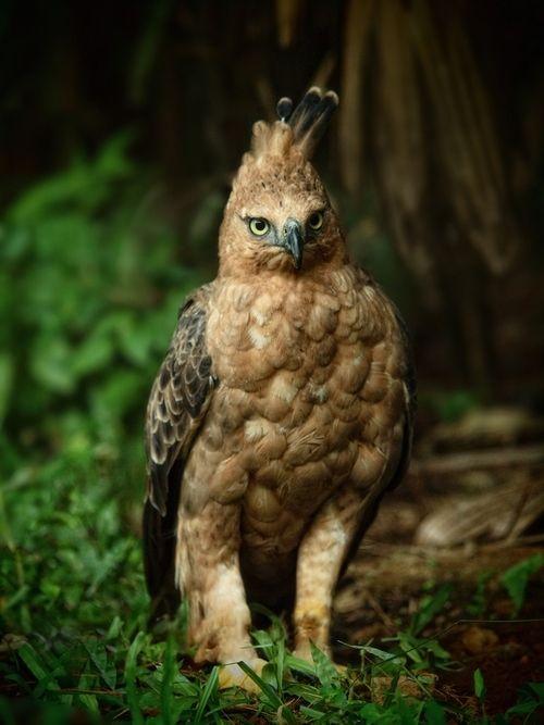 Javan Hawk Eagle by Irawan Subingar.