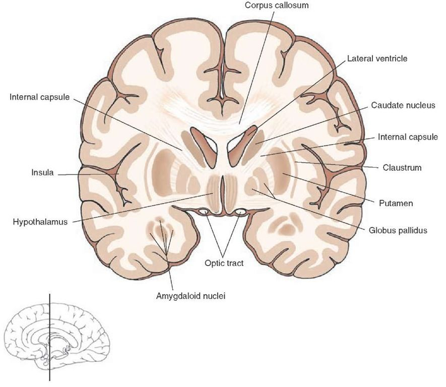 Frontal Section Taken Through The Level Of The Rostral Diencephalon