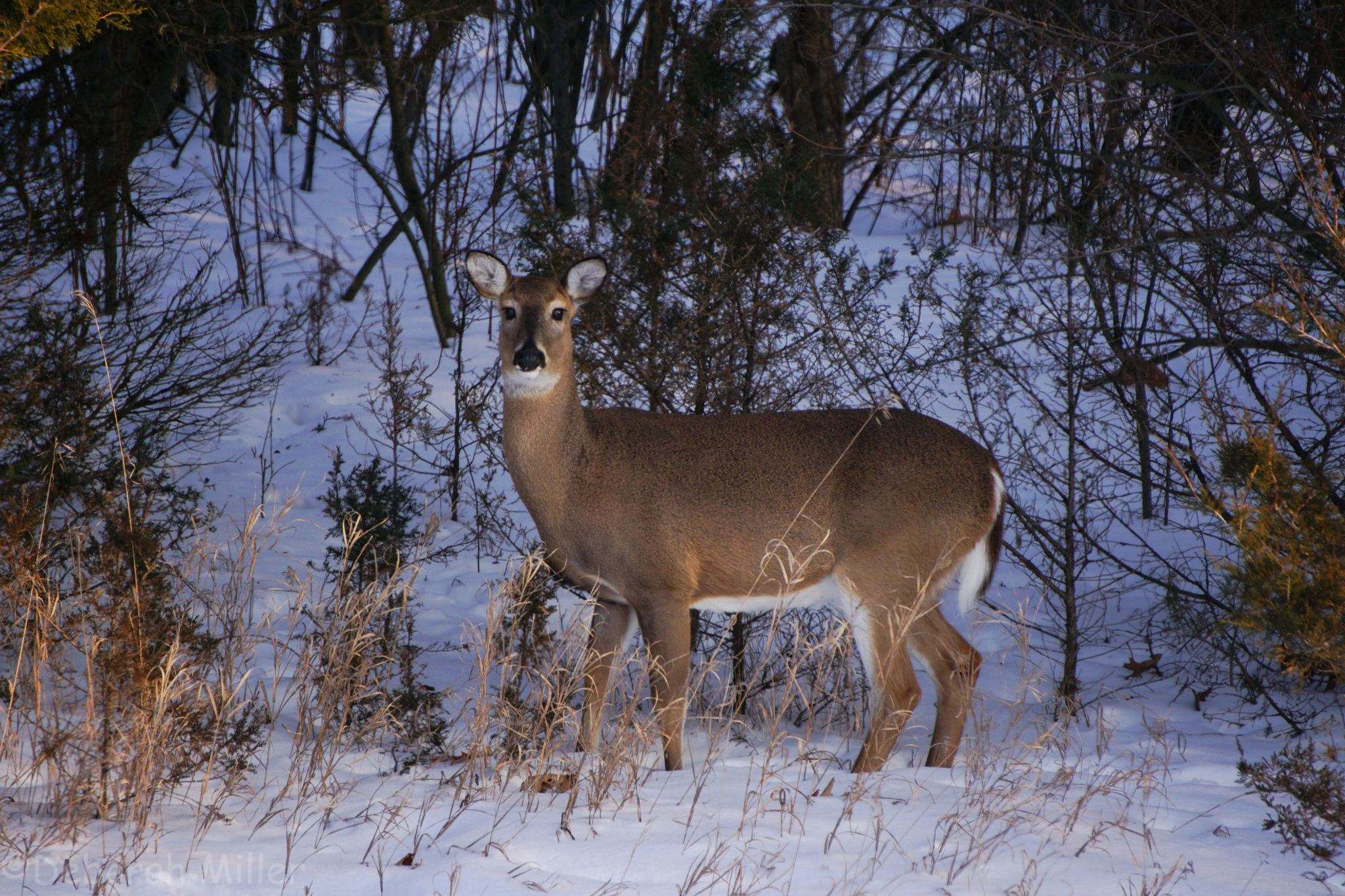 Deer in Kensington, on the side of the road by Deborah Miller on 500px