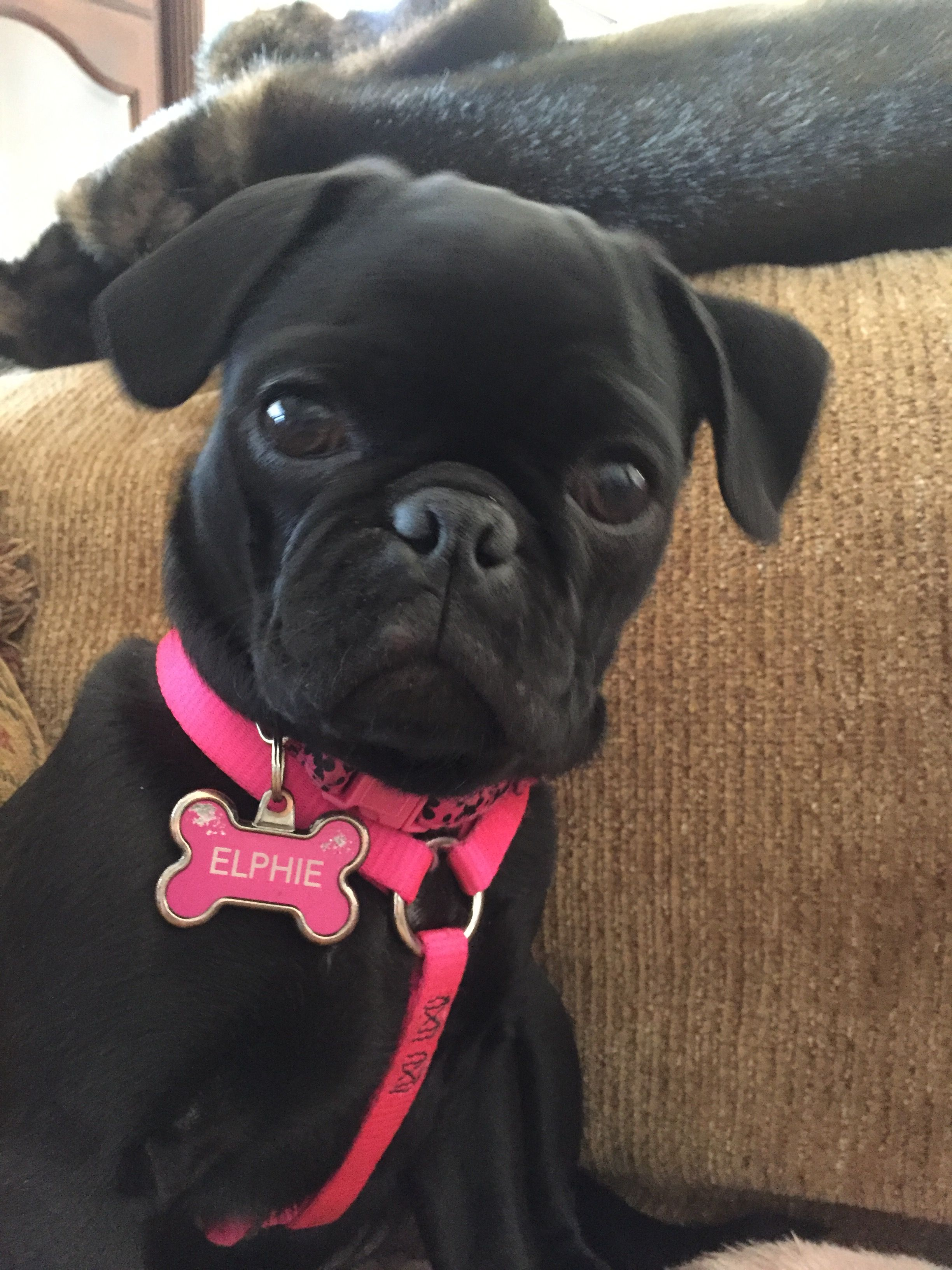 She Is 4 Months Old Now Black Pug Pugs Bulldog