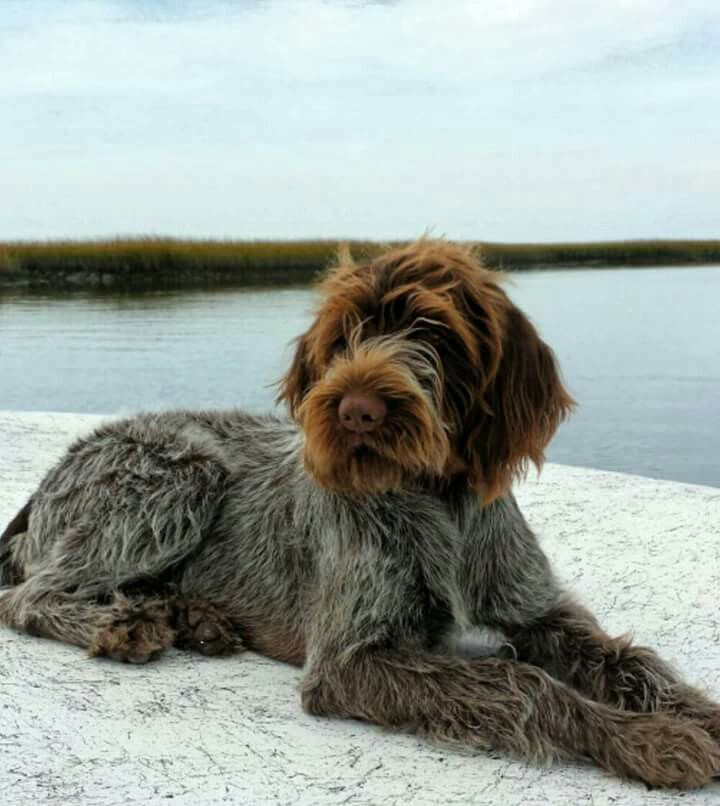 German Wirehaired Pointer Dogs Dog Breeds Griffon Dog