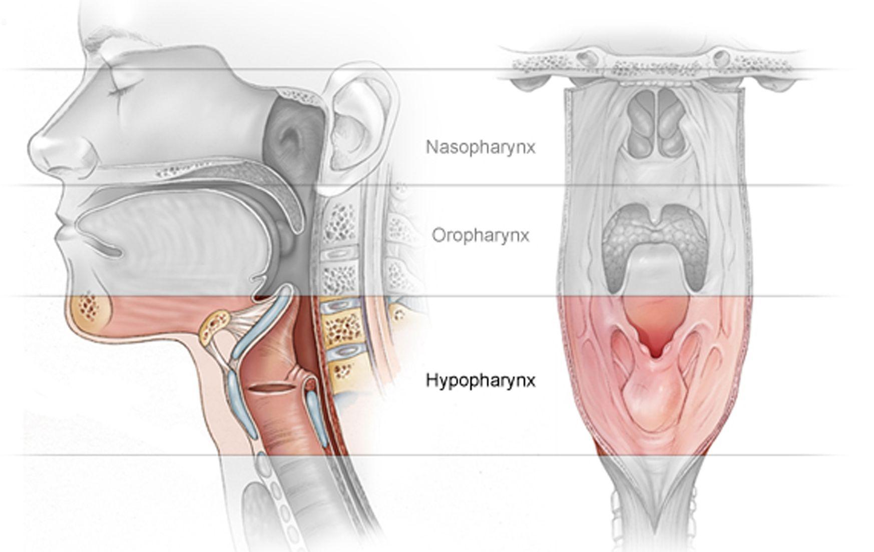laryngopharynx | Doctor, Doctor | Pinterest | Forensics and ...