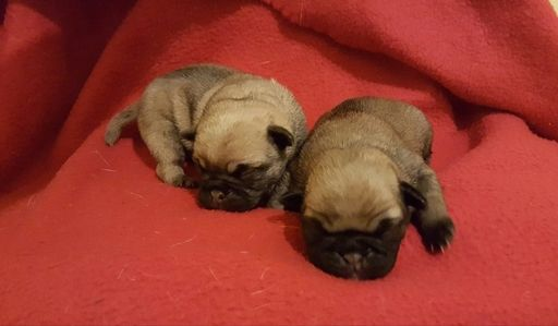 Pug Puppy For Sale In Cleburne Tx Adn 24592 On Puppyfinder Com