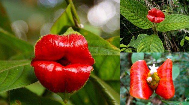 Psychotria Elata. Hookers lips.