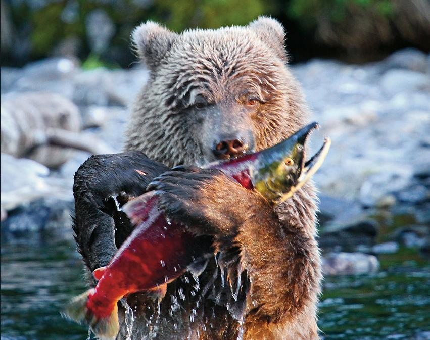 Bear Eating Salmon Google Search Salmon Fishing Sockeye Salmon Sockeye