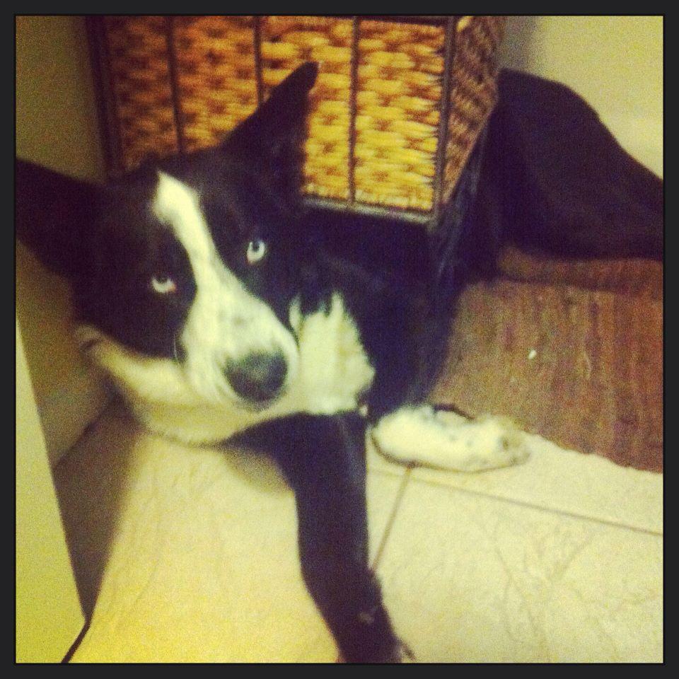 Jack The Border Collie Husky Mix He Doesn T Realize His Size Border Collie Husky Mix Best Dog Breeds Dog Breeds