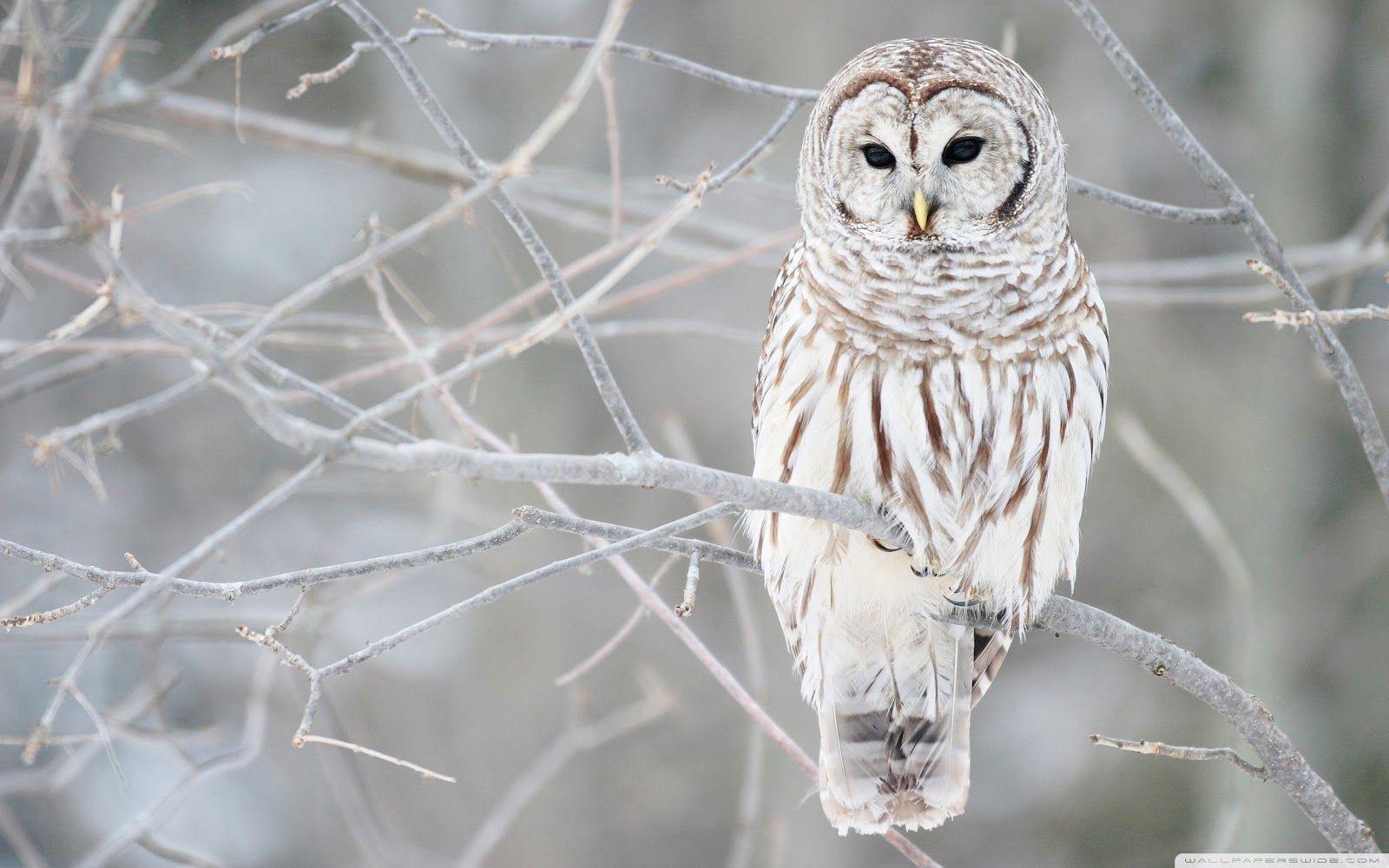 corujas das neves - Pesquisa do Google | Imagens da corujas ...