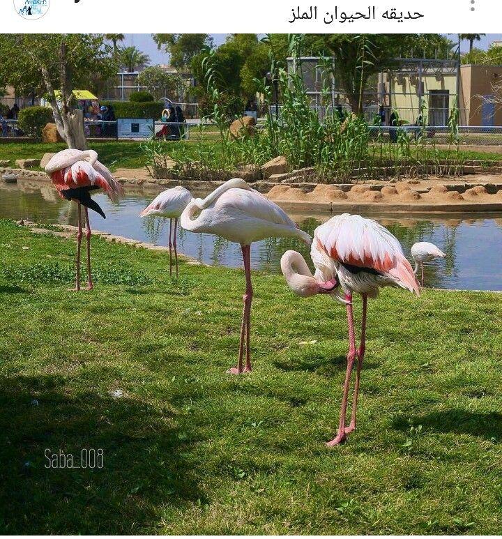 Pin By Najd On بلادي الغاليه Animals Flamingo