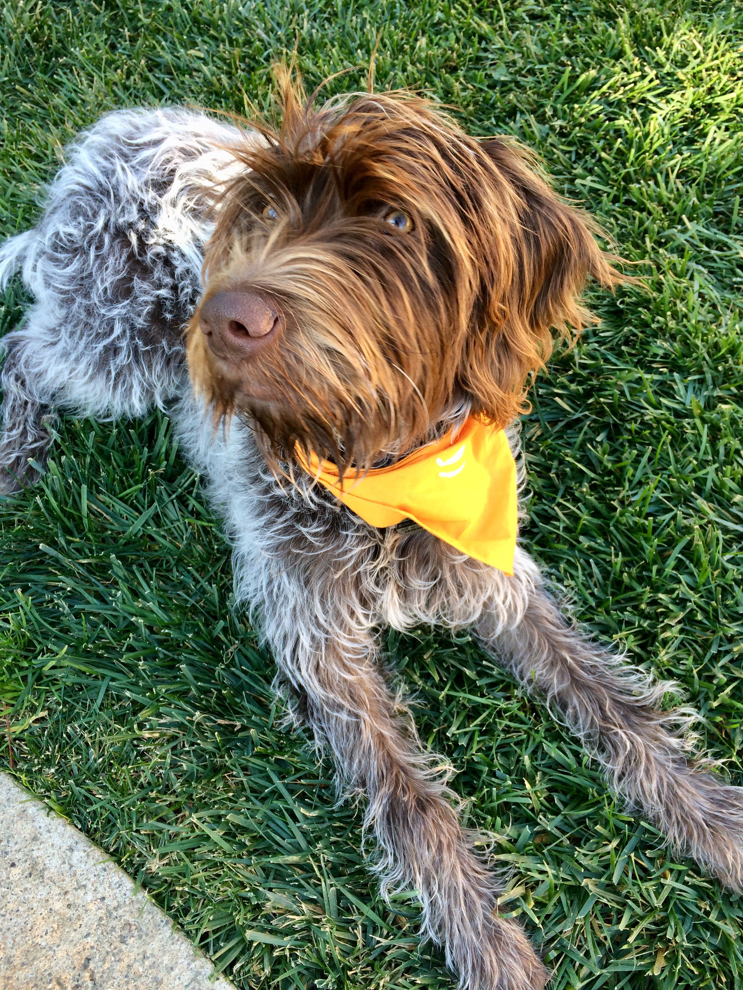 Wirehaired pointing griffon puppy Wirehaired pointing