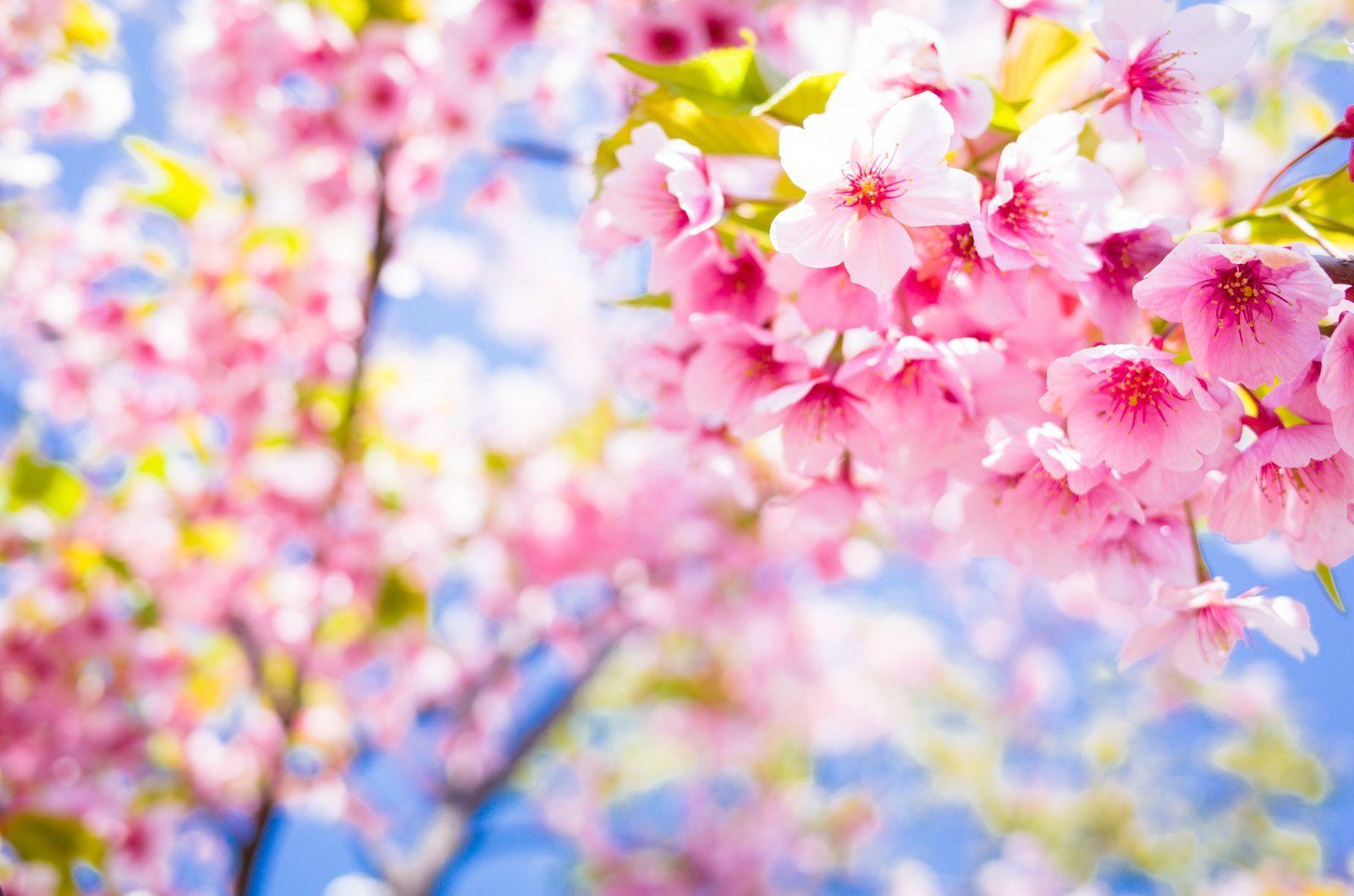 Cherry Blossom Tree Facts That You Definitely Never Knew Before In 2020 Blossom Trees Cherry Blossom Tree Blossom