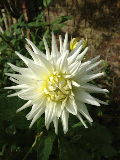 The dahlias are just coming into bloom